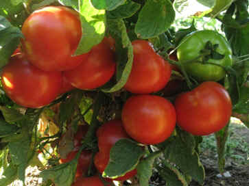 Red Tomatoes.jpg (65543 bytes)